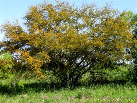 of tree two men and a little farm huisache tree followup