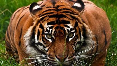 Tiger 1080p Background Face Animal Aggression