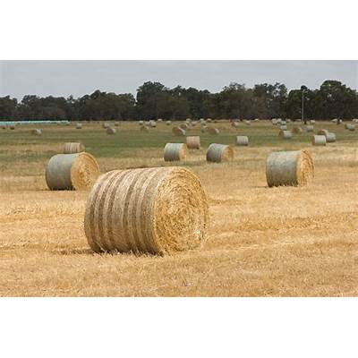 Oats: hay quality for export and domestic markets