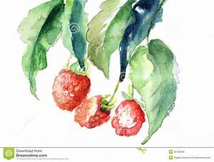Raspberry, Watercolor Illustration Royalty Free Stock ...