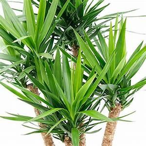 Yucca Palme Pflege : zimmerpflanzen lexikon 123zimmerpflanzen ~ Eleganceandgraceweddings.com Haus und Dekorationen