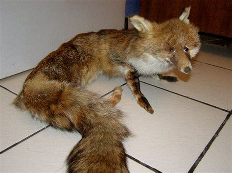 Taxidermy Fox Meme - image 733962 crappy taxidermy know your meme
