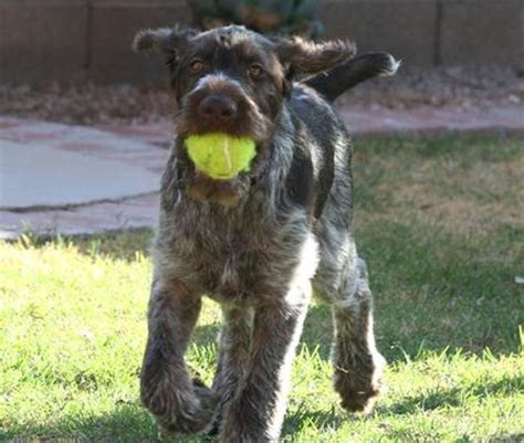 german wirehaired pointer shed 2013 top selling breeds breeds picture