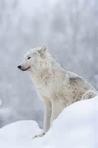 Hokkaido Japan Snow Wolf