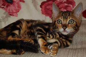 Rich Gold Marble Bengal Kittens | Waterlooville, Hampshire ...
