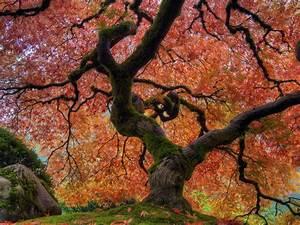 japanese garden in autumn japanese maple tree at portland