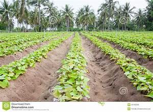 Patate Douce Plante : culture de patate douce image stock image du closeup ~ Dode.kayakingforconservation.com Idées de Décoration