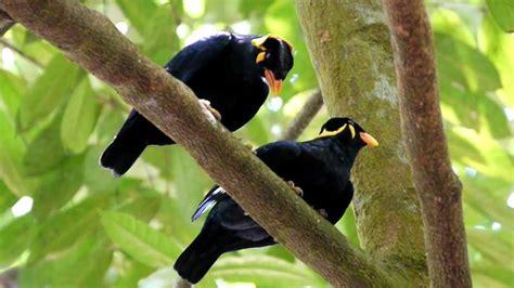 Loving Mynah Birds Youtube
