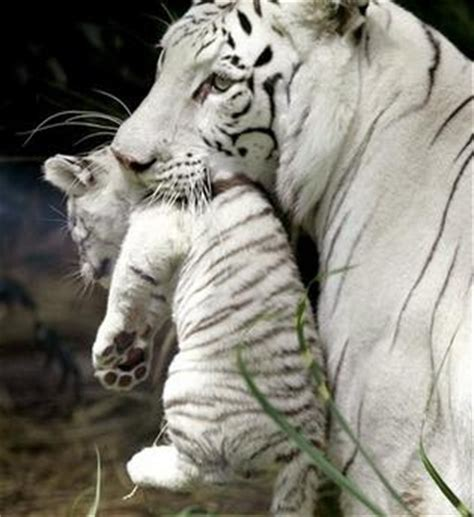 Cats White Tiger Cubs