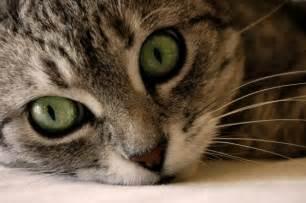 leukemia in cats feline leukemia and feline immunodeficiency white