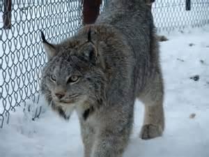 Canadian Lynx Pet