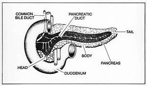 Anatomy   Pancreas   Classroom Clipart