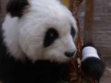 amazing panda adventure shirtless boy youtube