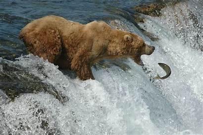 Bear Alaska Brown National Katmai Salmon Fish