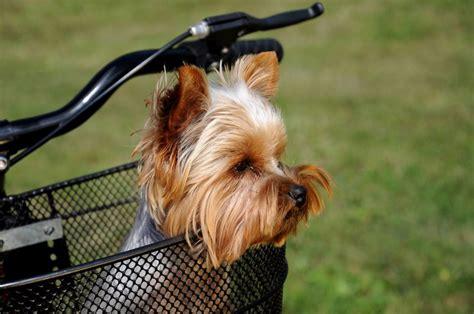 yorkshire terrier fotos und bilder