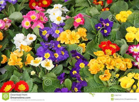 ingrosso vasi vasi di fioritura in molla della primula in vendita all