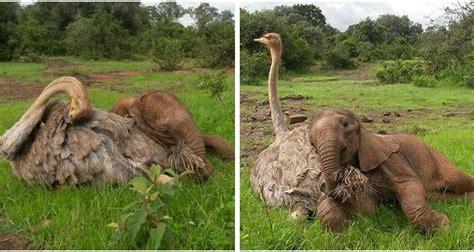 ostrich  orphaned elephant