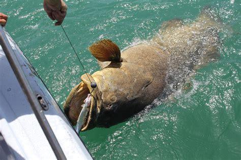 grouper goliath fishing sanibel report captiva miami florida charters islands very guide service nice