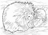 Porcupine Coloring Porcupines Pages Printable North American Animals Wildlife Supercoloring Coloringbay Getcoloringpages Animal Results sketch template