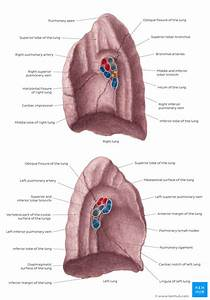 Hilum Of The Lung