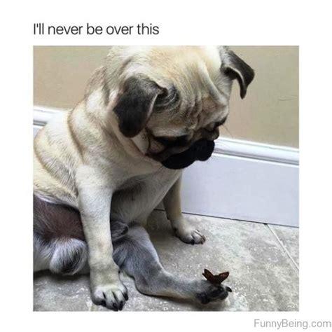 adorable pug memes  wont    resist