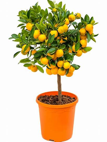 Calamondin Citrus Citrofortunella Nieuwkoop Europe Pot Code