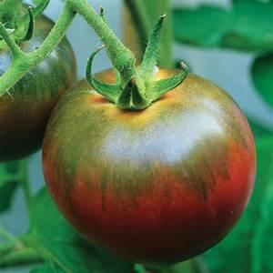 Tomate Noir De Crimée : tomato grafted plants noir de crimee from dt brown ~ Dailycaller-alerts.com Idées de Décoration