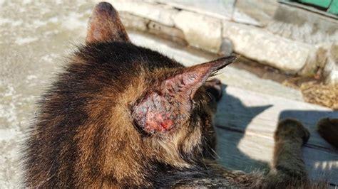 gatos orejas ear cats problems feline cat enfermedades dermatitis dermatofitosis maladies common comunes infections felina chats oreilles courantes treatment solar