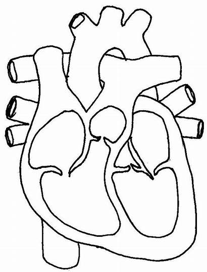 Coloring Blood Heart Flow Diagram Nursing Anne