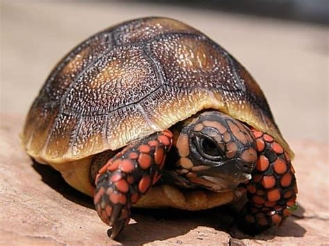 cherry head red foot tortoise  sale baby red foot cherry head tortoise hatchling  sale buy