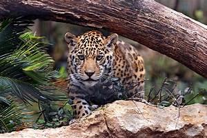Jaguar predator cat wallpaper   6144x4096   559977 ...