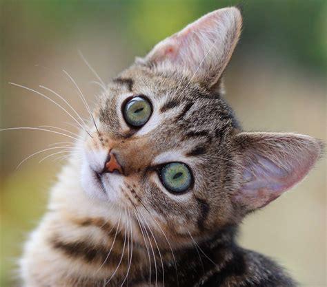 Filegreen Eyes Kittenjpg  Wikimedia Commons