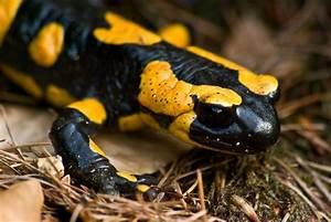 Caudata fire salamander for Küche salamander
