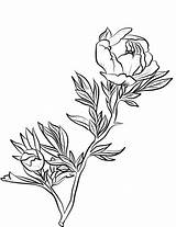 Peony Coloring Peonies Printable Drawing Line Supercoloring sketch template