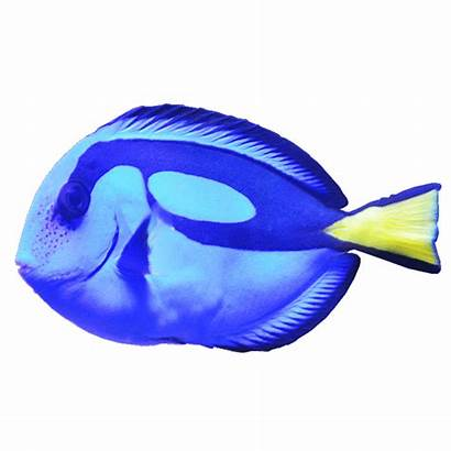 Fish Tang Dory Type Transparent Background Rabbit