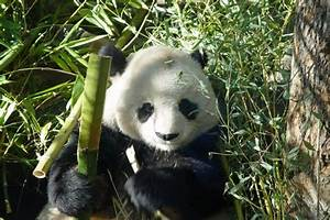 Oso panda comiendo bambú (9627)