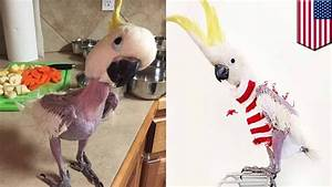 Animals wearing clothes: Featherless parrot in Kansas now ...  Wearing
