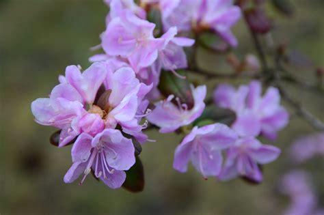 Ledebūra rododendrs Jūrmalas parkā jau ziedos ...
