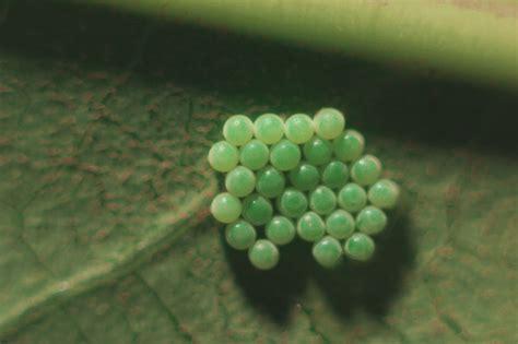 mature fatsia japonica  suffers