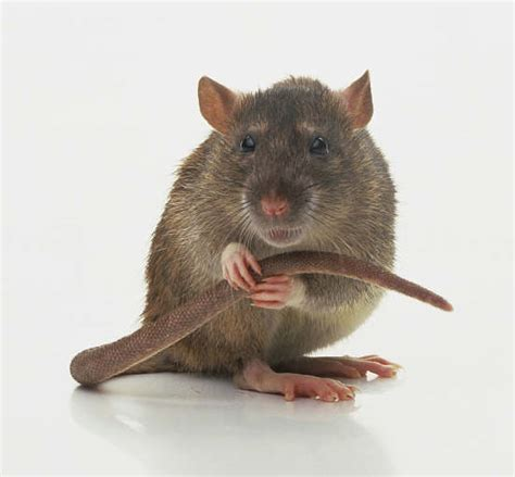 picture of a rat sad lonely lady rats may really eat their feelings neurotic physiology