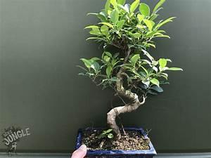 Ficus Benjamini Verliert Alle Blätter : bonsai ficus benjamini online bestellen 24 90 ~ Lizthompson.info Haus und Dekorationen