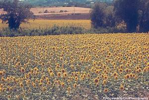 Vintage Sunflowers Tumblr | Wallpapers Gallery