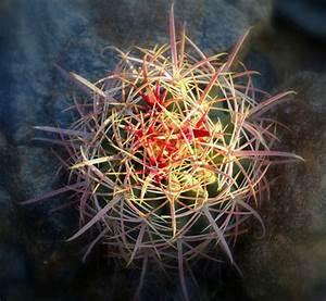 Baby Barrel Cactus by malski - DPChallenge