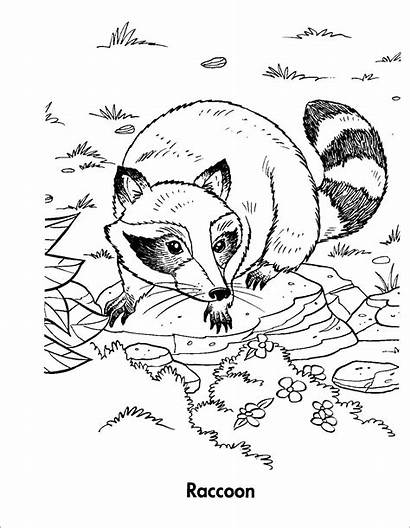 Coloring Racoon Raccoon Cartoon Preschool Adult Template