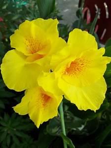 Growing Canna Lilies