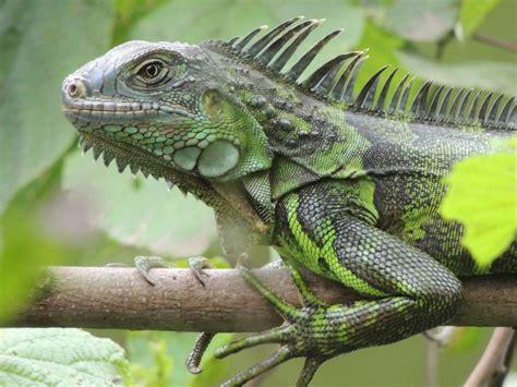 Iguana, Montañita, Ecuador