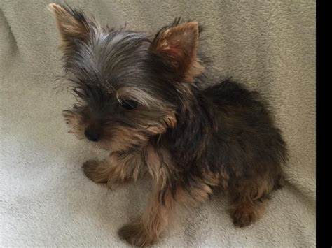 Pocket Yorkies Puppies For Sale