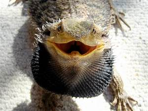 Pets: Bearded Dragon