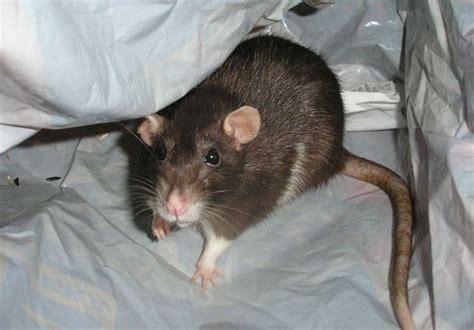 tipps gegen ratten im haus  hat die plage schnell ein
