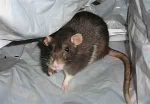 Ratte Im Haus : tipps gegen ratten im haus so hat die plage schnell ein ende ~ Buech-reservation.com Haus und Dekorationen